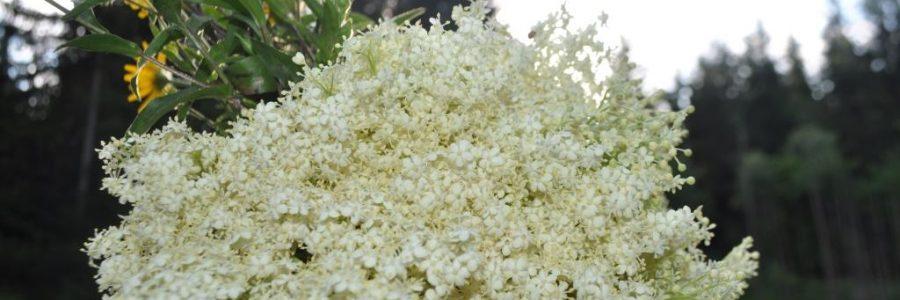 BLACK ELDER – HEALING & MAGICAL MIDSUMMER PLANT