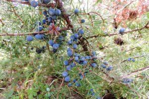 Common juniper - brin