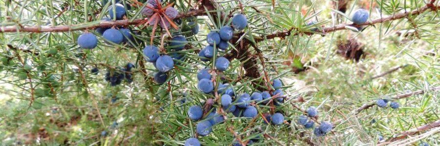 COMMON JUNIPER (Juniperus communis) – HOLLY WOOD